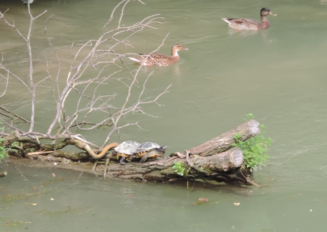 Turtles and ducks along the river.