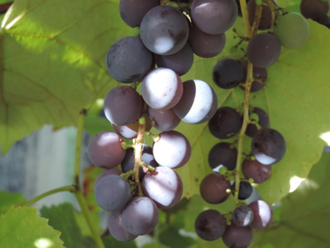 I don't remember the variety of these. We have four vines of red/purple grapes.