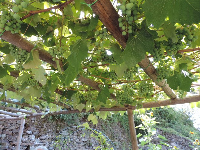 Grapes ripening in the B & B's garden.
